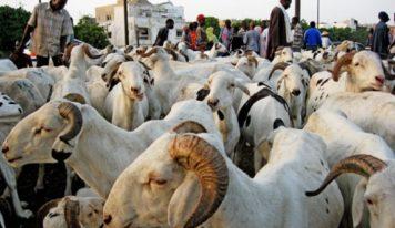 Fête de Tabaski : comment avoir un mouton pour le sacrifice? C'est l'équation du moment !