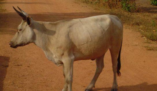 Mandiana : le sous-préfet et le vice-maire de Fralako condamnés pour le vol d'une vache !