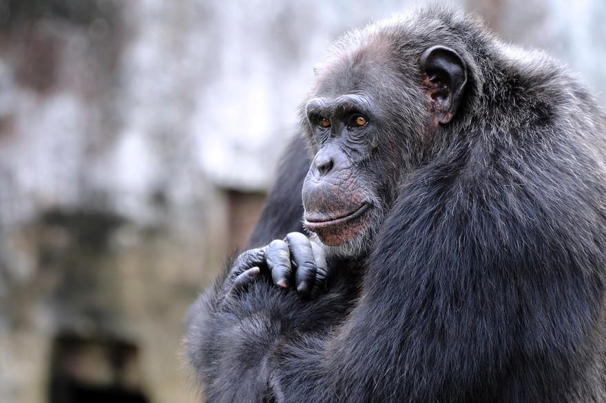 Guinée : naissance rare d'un chimpanzé, menacé d'extinction et futur manieur d'outils