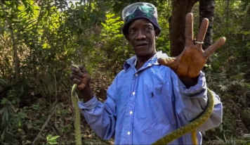 Les serpents de Pastoria en Guinée