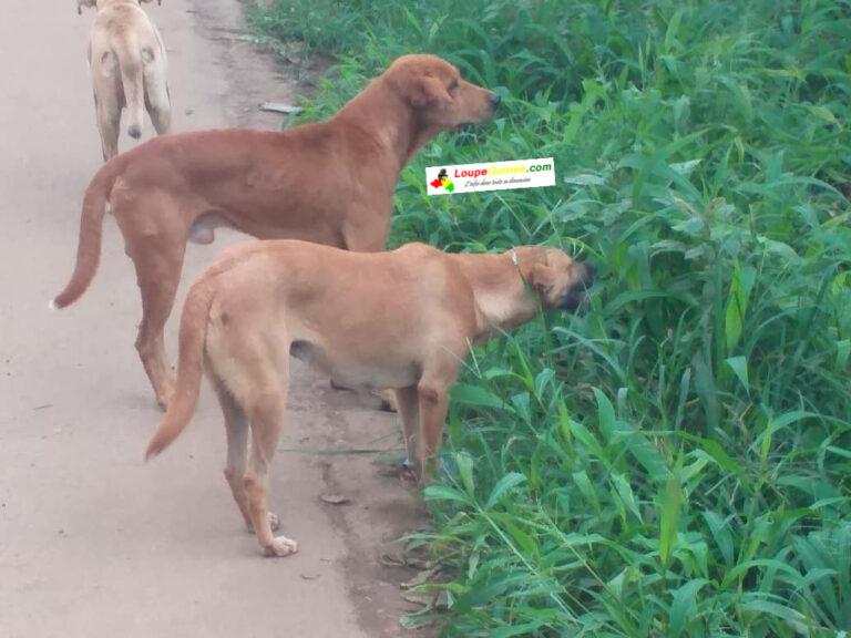 Conakry : Par manque de nourritures, les chiens broutent de l'herbe