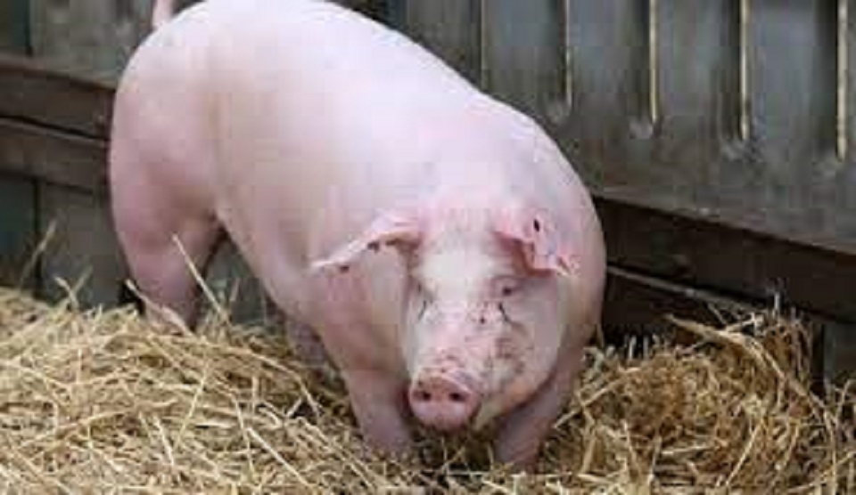 N'zérékoré : un bébé dévoré par un porc