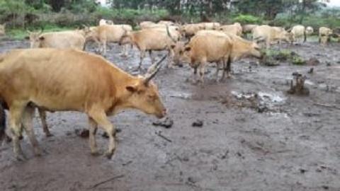 Kindia : un troupeau de bœufs attaqué à coups de machettes, le berger tabassé, entre la vie et la mort